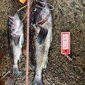 山哲さんのソイの釣果写真
