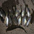 釣り初心者さんのコチの釣果写真