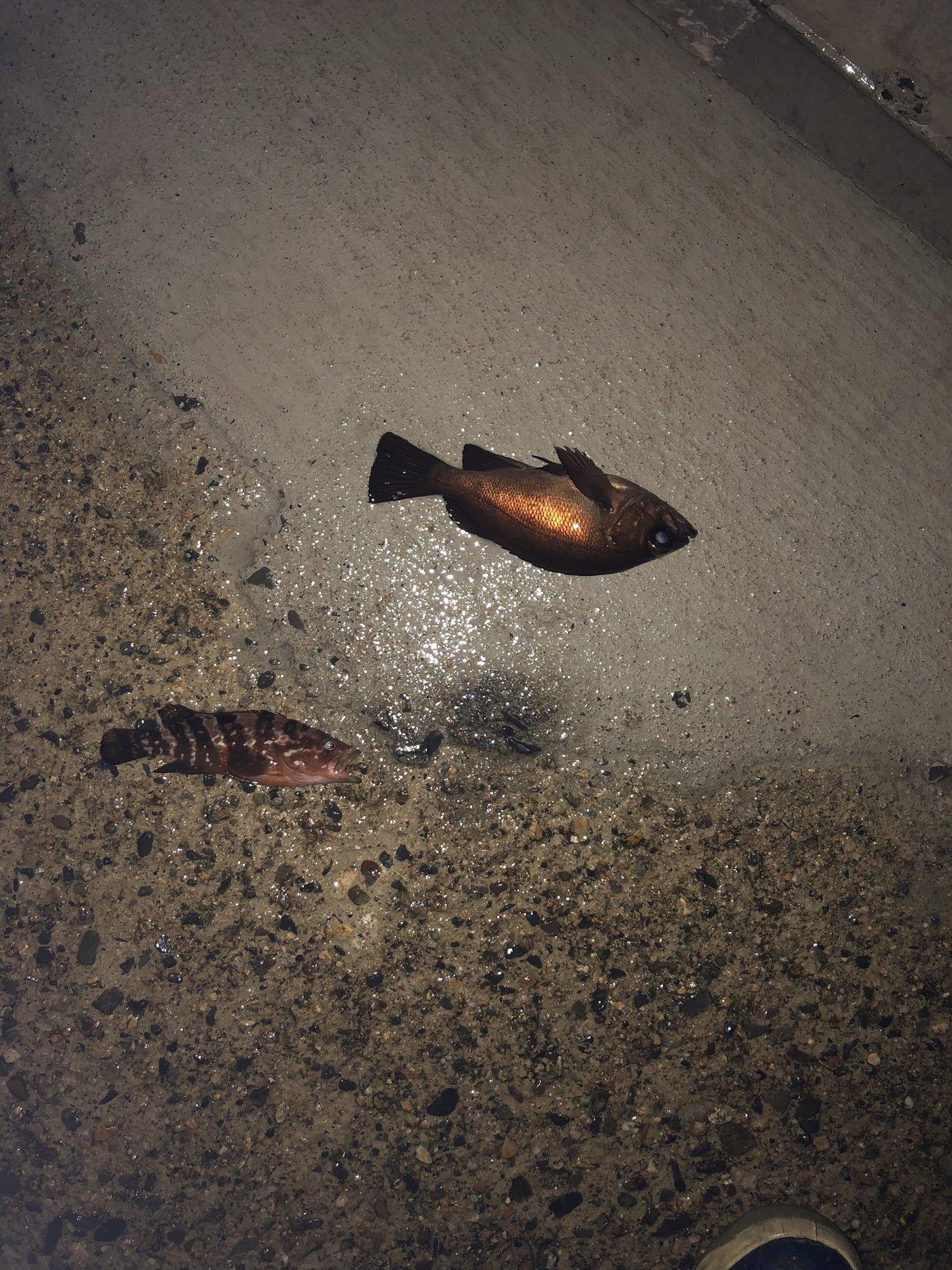 aoricyuさんの投稿画像,写っている魚はメバル