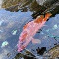 #べる坊#さんの熊本県天草市での釣果写真