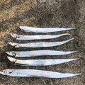 翔太さんの兵庫県でのタチウオの釣果写真