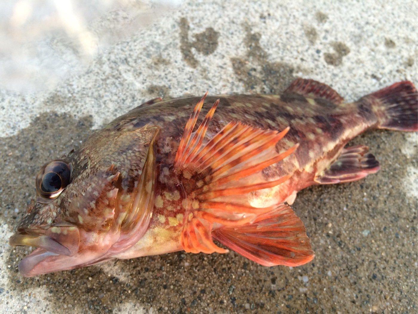 K.Iさんの投稿画像,写っている魚はカサゴ