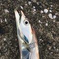 ばしおさんの兵庫県でのタチウオの釣果写真