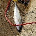 びるそんさんの広島県江田島市での釣果写真