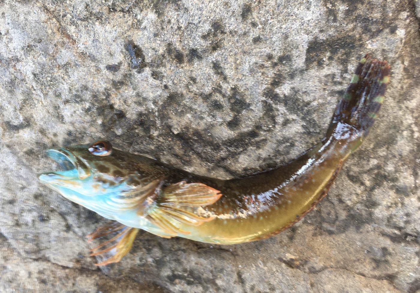 佐藤さんの投稿画像,写っている魚はアナハゼ