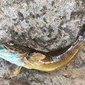 佐藤さんのアナハゼの釣果写真