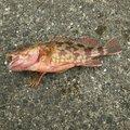 見習い釣り師さんの高知県高知市での釣果写真