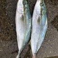 らすたねこさんの香川県観音寺市での釣果写真