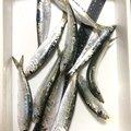 釣り課長さんの香川県さぬき市での釣果写真