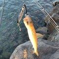 てんざんさんの長崎県松浦市での釣果写真