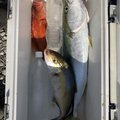 うーさんの高知県土佐市での釣果写真