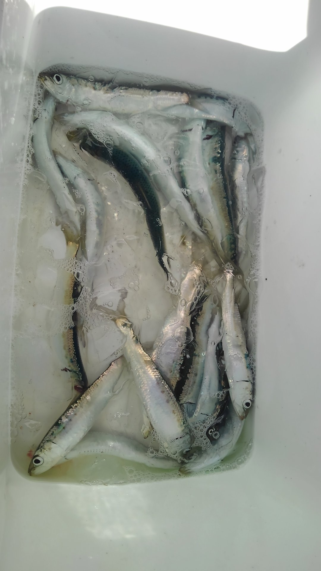 下船尾太郎丸さんの投稿画像,写っている魚はマイワシ,カタクチイワシ