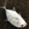 魚肉さんのロウニンアジの釣果写真