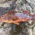 佐藤さんの神奈川県藤沢市でのカサゴの釣果写真