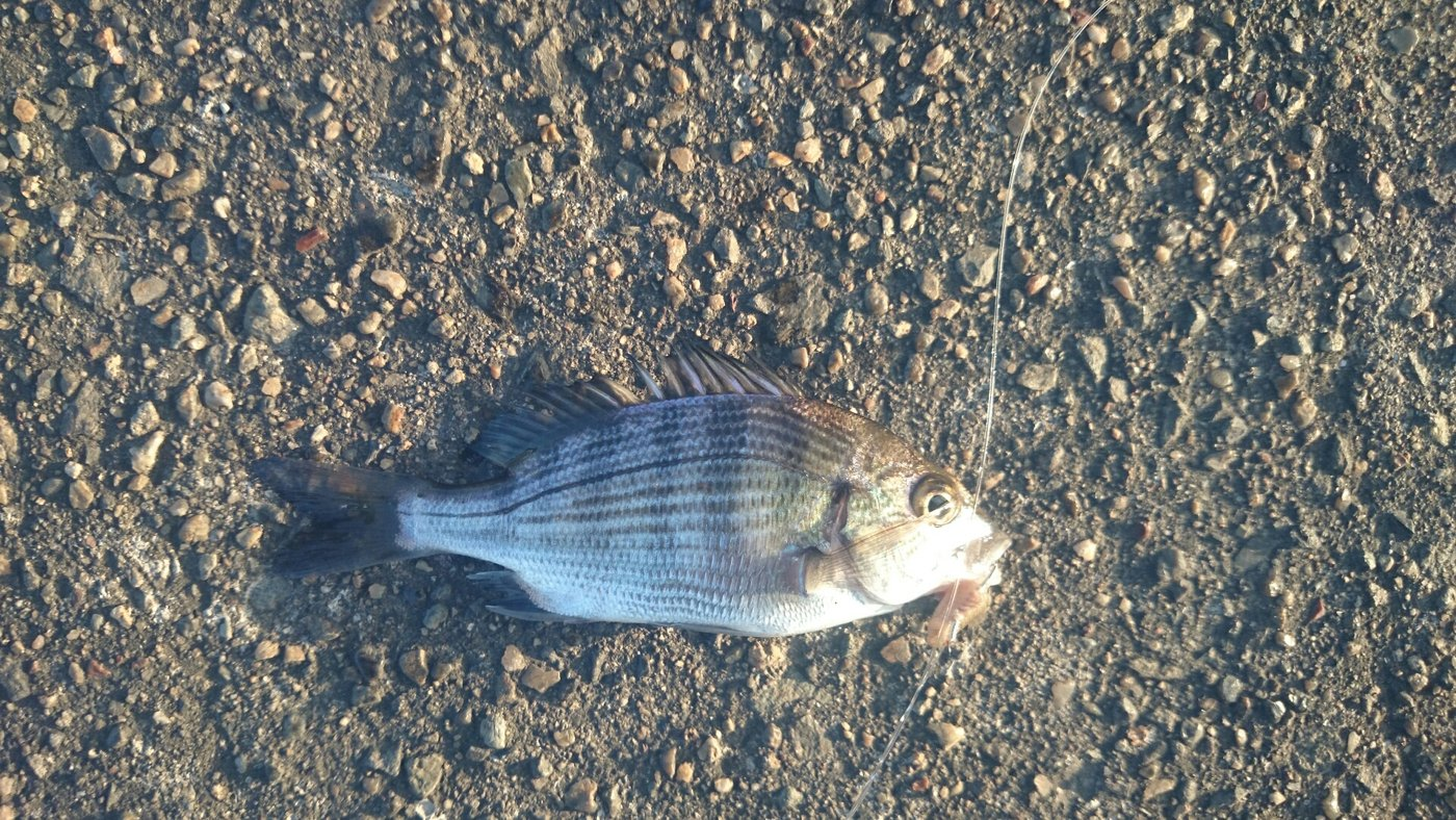 Kzさんの投稿画像,写っている魚はクロダイ