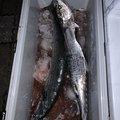 かねちゃんさんの山口県光市での釣果写真