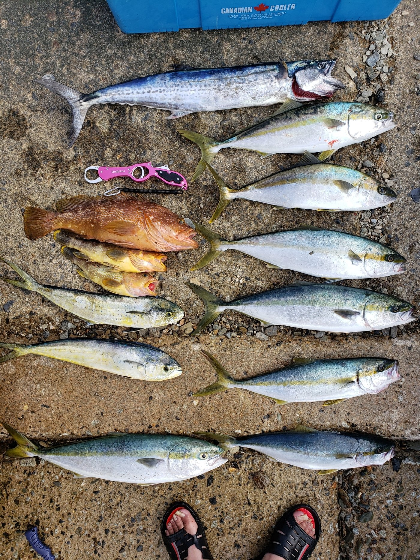 紀姫丸さんの投稿画像,写っている魚はサワラ,ヒラマサ,ブリ,シイラ,キジハタ