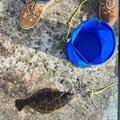 桑竹さんの新潟県でのヒラメの釣果写真