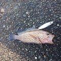 hiroさんの静岡県沼津市での釣果写真