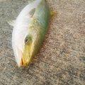 レッドテイルさんの山口県光市での釣果写真