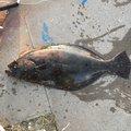 スーさんの千葉県銚子市での釣果写真