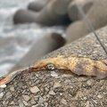 あいすさんの鹿児島県出水郡での釣果写真