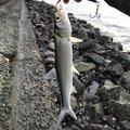 ぷーさんの愛知県名古屋市での釣果写真