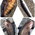 たこたかさんの静岡県沼津市での釣果写真
