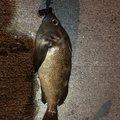シーアツさんのソイの釣果写真