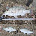 ミズノ・アワさんの沖縄県でのフエフキダイの釣果写真