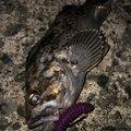 kooonさんの青森県八戸市でのクロソイの釣果写真