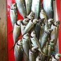 森山昇さんのマサバの釣果写真