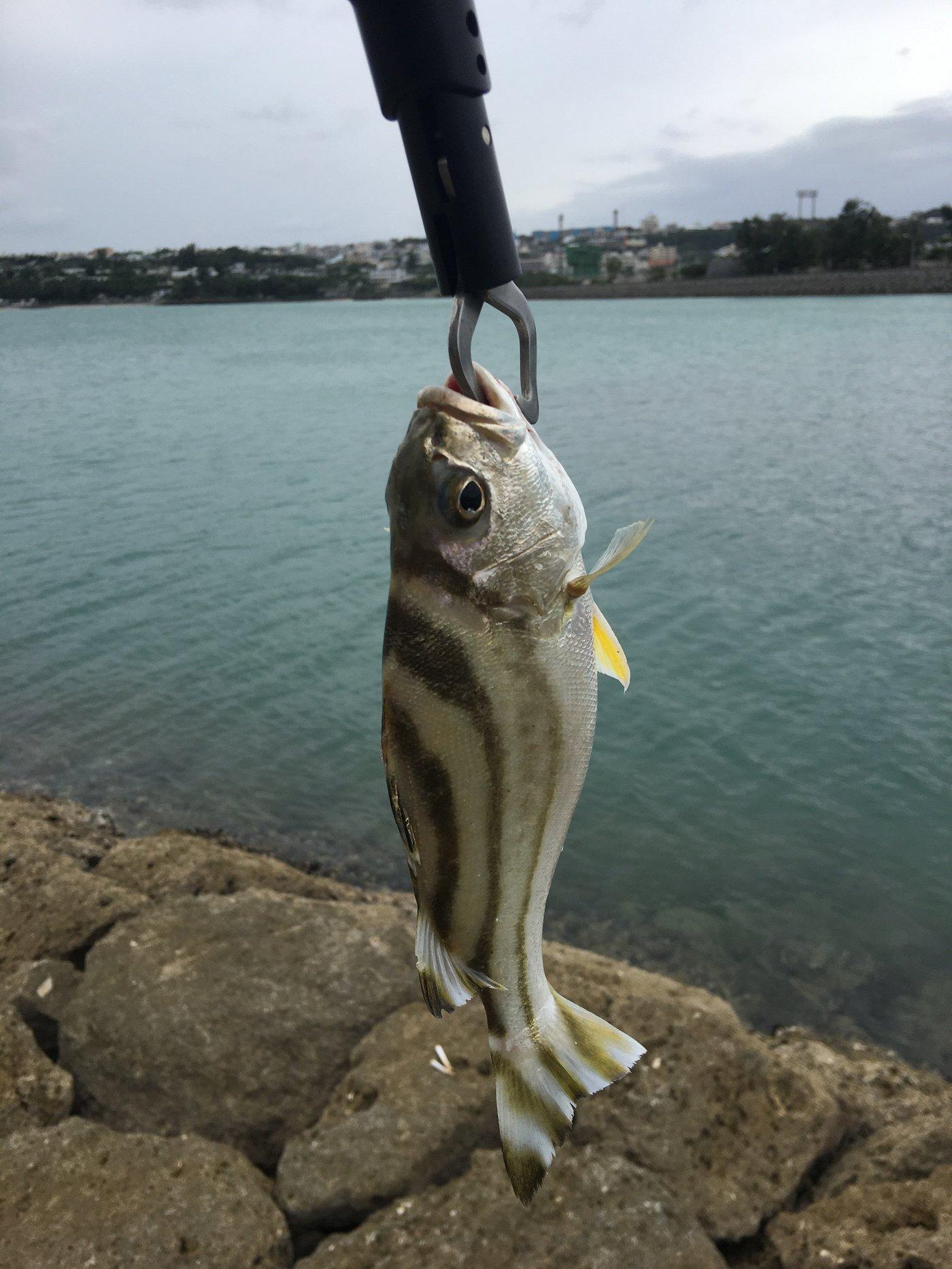 たまたまさんの投稿画像,写っている魚はコトヒキ
