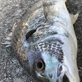 きゃんさんの兵庫県神戸市での釣果写真