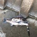 青物アルビスさんの石川県金沢市での釣果写真