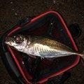 ノリさんの京都府での釣果写真