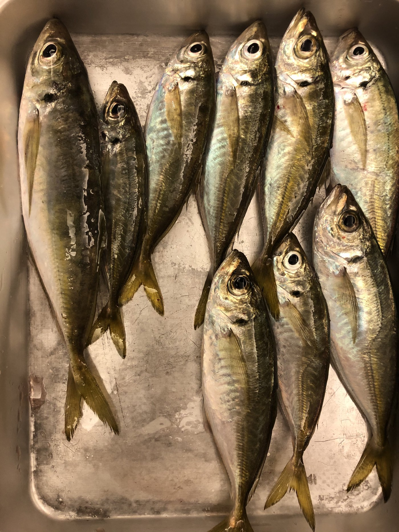 さまやんさんの投稿画像,写っている魚はアジ,