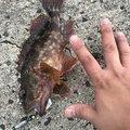 chachaさんのアカカサゴの釣果写真