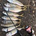 さまやんさんの三重県鳥羽市での釣果写真