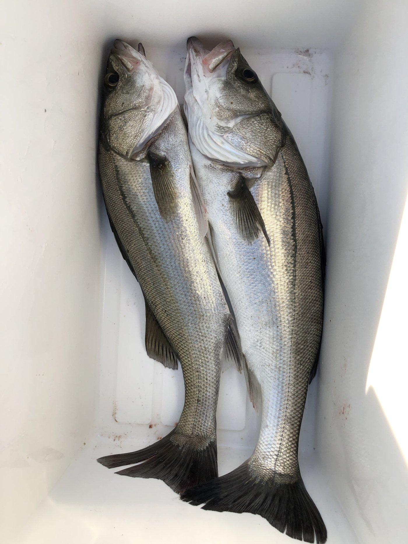 hikaruさんの投稿画像,写っている魚はスズキ