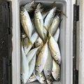 かわしま太郎さんの宮崎県延岡市での釣果写真