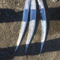 rmさんの兵庫県でのタチウオの釣果写真