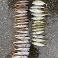 わさおさんの千葉県勝浦市での釣果写真
