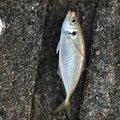 simomuさんの石川県金沢市での釣果写真