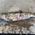 透け透けゴリラさんの青森県上北郡での釣果写真