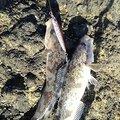 ニジマーhiroさんの北海道でのホッケの釣果写真