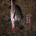やましismさんの富山県魚津市での釣果写真