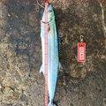 ラッシュさんの富山県射水市でのサワラの釣果写真