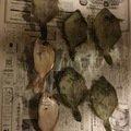 釣りの天才さんの兵庫県明石市でのカワハギの釣果写真
