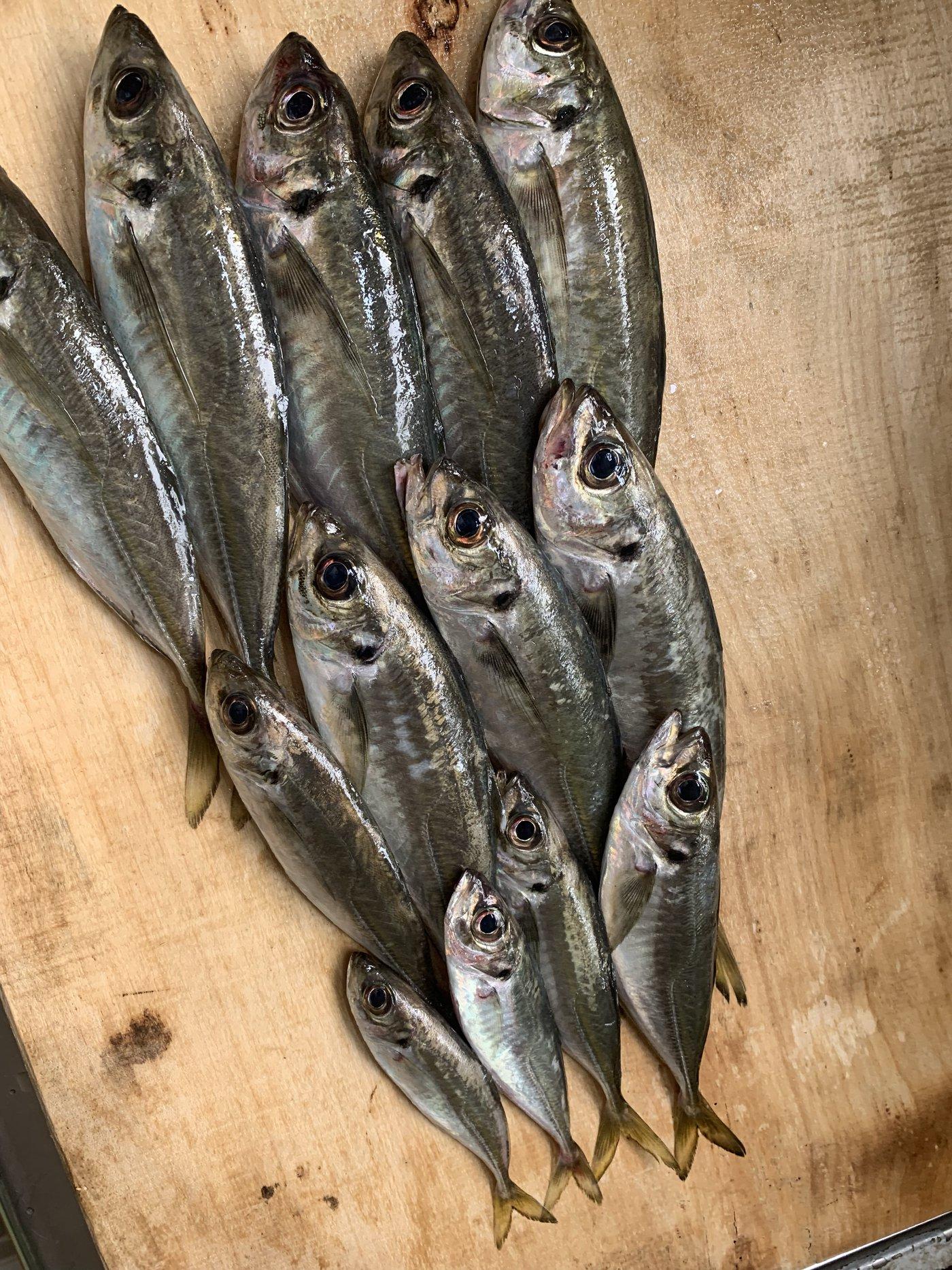 ヨッシーさんの投稿画像,写っている魚はアジ